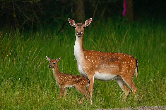 deer google image