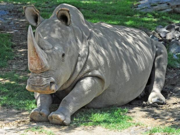 v3-angalifu-northern-white-rhino